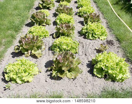 Growing salad lettuce on field in Italy