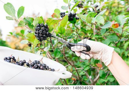 woman picking chokeberry / aronia fruits with scissors
