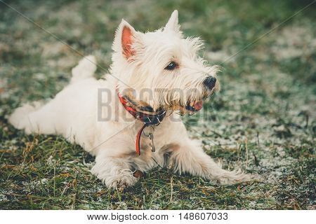 Cute West Highland White Terrier - Westie, Westy Dog Play in Grass