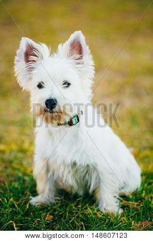 Small West Highland White Terrier - Westie, Westy Dog Portrait