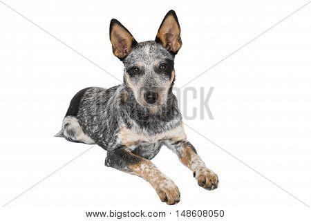 Blue Heeler Puppy