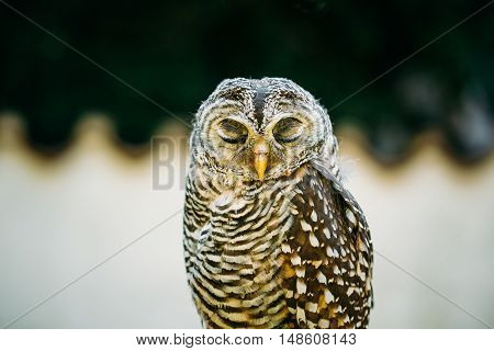 The Rufous-legged Owl , Strix Rufipes, Is A Medium Sized Owl With No Ear Tufts. Wild Bird. Close Up Head, Face. Birds Eye Closed