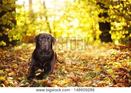 Brown Labrador Retriever lies on a sunny day on the background of autumn leaves