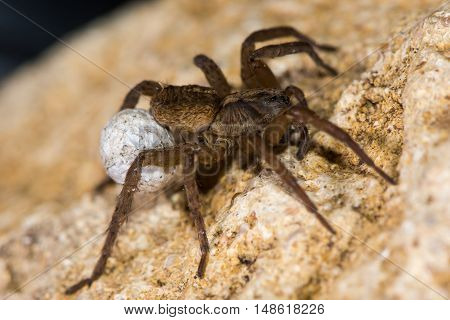 Trochosa ruricola wolf spider female with egg sac. A spider in the family Lycosidae carrying ball of eggs attached to spinerets