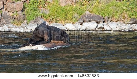 Grizzly Bear Boar resting on a waterlogged rotting Buffalo carcass in the Lehardy Rapids of the Yellowstone River in the Hayden Valley of Yellowstone National Park in Wyoming USA