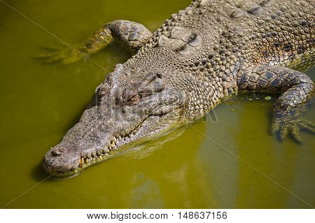 Close up of Saltwater Crocodile also known as estuarine or Indo-Pacific crocodile (Crocodylus porosus) is the largest of all living reptiles.
