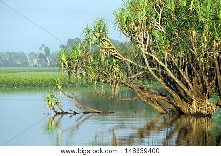 Pandanus(Pandanus spiralis ) growing on the edge of Yellow Water billabong, Kakadu National Park