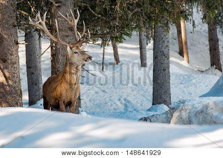 Deer Portrait In The Snow Background