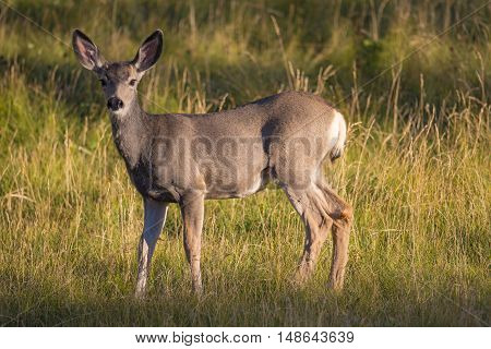 White Tailed deer in a mountain meadow at sunset