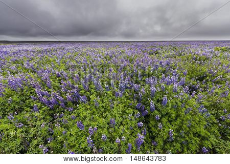 Great field of purple flower lupine near Vik in Iceland with dark rain clouds.