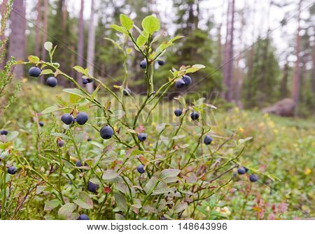 Blueberry bush (Vaccinium myrtillus) growing in the forest, Finland