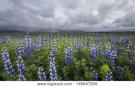Purple lupine field with green hogweed mountains and cloudy sky at Vik on Iceland.