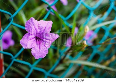 Purple Flowers Or Ruellia Tuberosa Linn, Popping Pod, Toi Ting (thai Name).