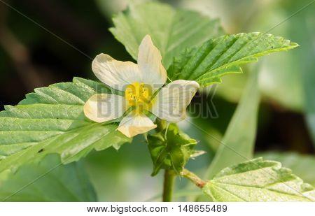 Closeup of Thai Poaceae plants on the garden
