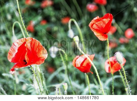 Papaver rhoeas Corn poppy Corn rose Field poppy Flanders poppy Red poppy Red weed Coquelicot in the summer meadow. Natural scene. Vibrant colors.
