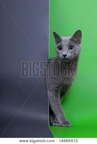 Russian blue cat in the studio