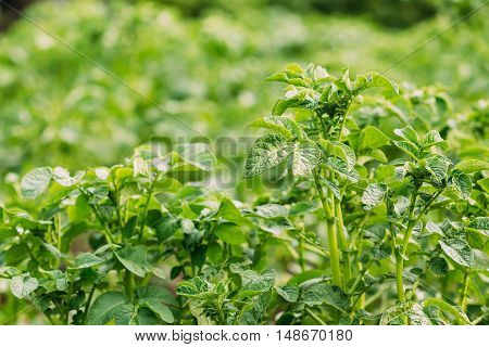 Close-Up View Of The Green Vernal Sprouts Of Potato Plant Or Solanum Tuberosum Growing On Plantation In Spring Summer.