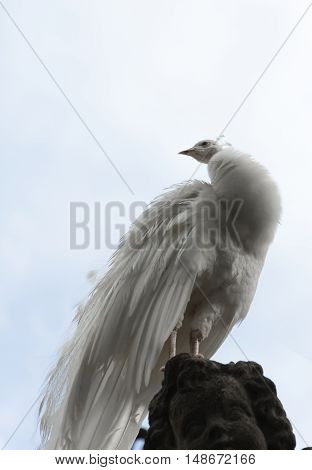White peacock stands with closed tail on Borromean island Isola Madre Italy