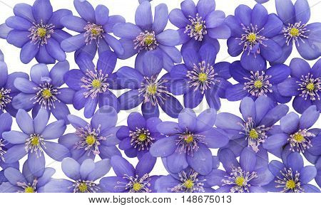 Hepatica nobilis flower on a white background