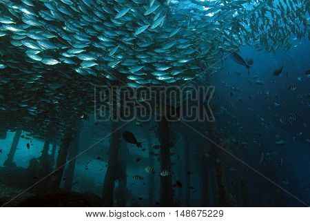 Schools of Fish around the Jetty of Arborek in Dampier Strait. Raja Ampat Indonesia