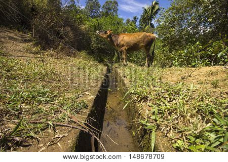 A booing cow at the Ella mountains (Sri Lanka)