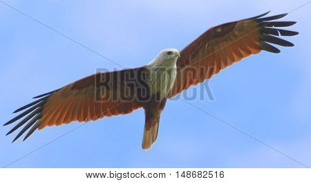 adult Brahminy Kite soaring over a rice field near Ranot, Thailand