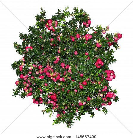 Evergreen Gaultheria mucronata plant with red berries isolated on white background