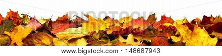 Autumn leaves lying on the ground panorama format with vibrant colors isolated on white