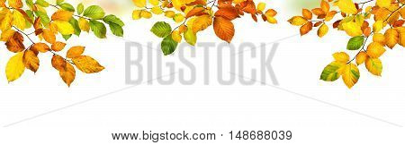 Elegant autumn beech leaves border studio isolated on pure white background wide panorama format