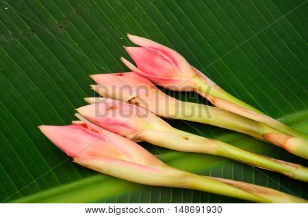 Ginger flower or etlingera elatior with banana leaves background. Also known as torch ginger or Bunga Kantan