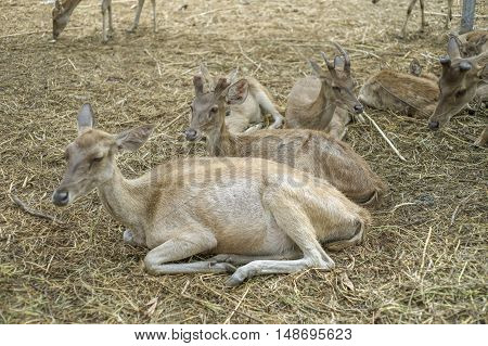 portrait of many dear laying on a ground field,selective focus,filtered image