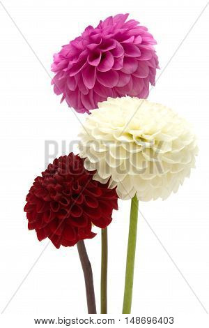 Three dahlias on a white background .