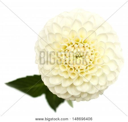 White dahlia on a white background .