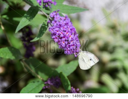 Pieris rapae the small white or cabbage white is a small- to medium-sized butterfly from the family Pieridae. It is also known as the small cabbage white. On this picture the butterfly is feeding on nectar from Buddleia flower.