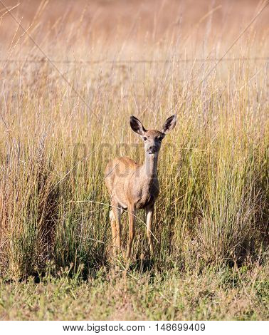Black-tailed Deer (Odocoileus hemionus) in the grassland. Adult, Female