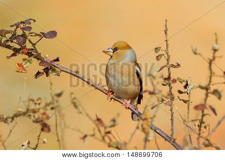 Hawfinch sitting on the branch Isolated from background