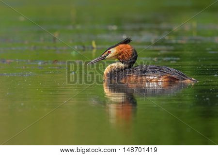 Great Crested Grebe (Podiceps cristatus) on the water