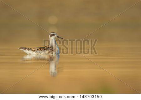 Red-necked Phalarope (Phalaropus lobatus) feeding in shallow water