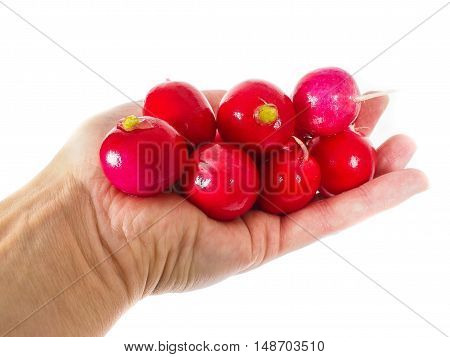 Radish, washed, and cleaned in hand isolated on white