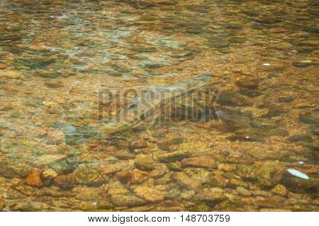 Salmon in the water during upstream spawning run