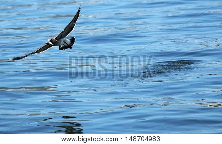 A seagull is flying away over blue water with a fish in its mouth