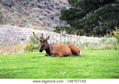 Young bull elk reclines on the grass near Mamoth Springs in Yellowstone National Park.