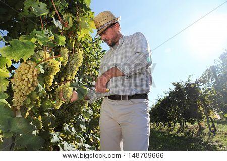 Grapes harvest Winemaker in vineyard autumn season
