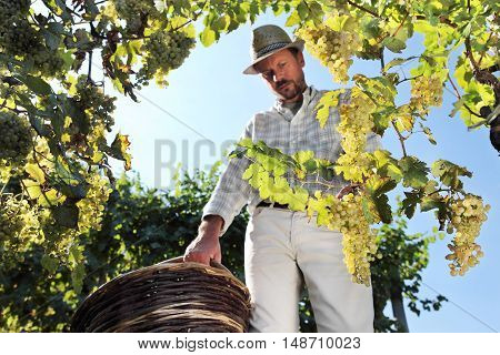 Grapes harvest Winemaker in vineyard autumn season