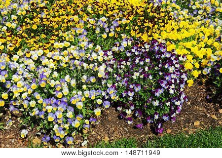 Bright And Colorful Pansies And Violas In A Flowerbed