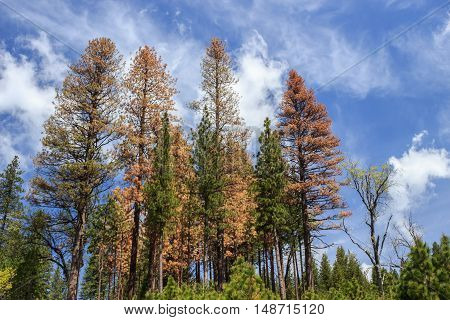 Standing dead: grove of conifer trees dying from drought stress and beetle kill