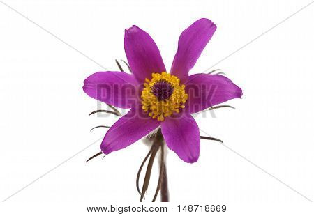 common pasque flower [Pulsatilla vulgaris] natural, greenery, stamp, spring