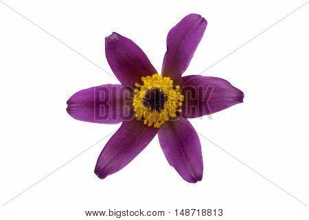 common pasque flower [Pulsatilla vulgaris] natural, greenery, stamp, spring