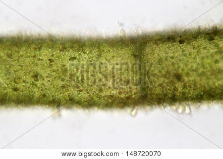 Freshwater filamentous algae super macro. Aquaculture. Nature