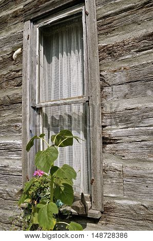 Weathered wood cabin window with growing vines